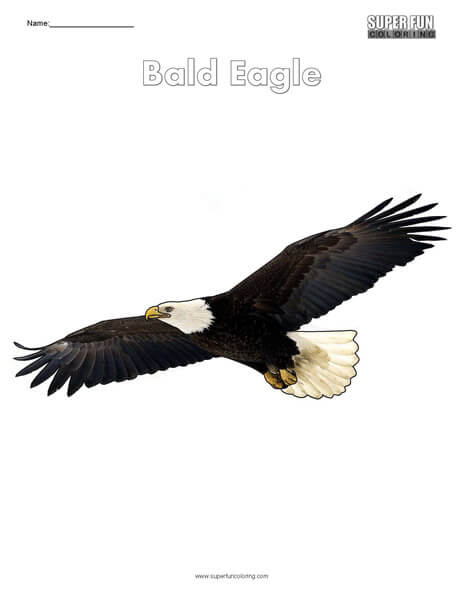 Bald Eagle Top Coloring Page